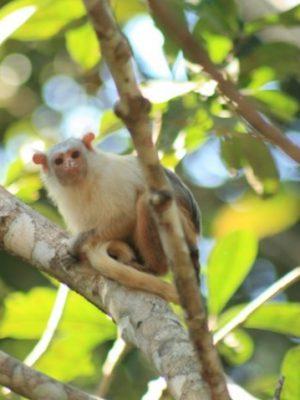 mico-de-aripuana-mico-intermedius
